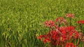 fiori di campo : Higambana, Heshore Flowers and Paddy Fields