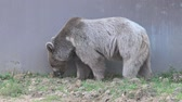 solitaire : Grizzly bear at zoo Stock Footage