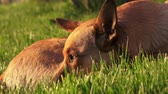 sensorial : Cute brown dog sits on a green grass on a sunny day, closeup Vídeos