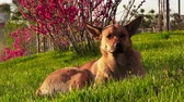 fiel : Cute brown dog sits on a green grass on a sunny day