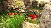 akropol : Pergamon in springtime, closeaup flowers among ruins,  Bergama, Turkey
