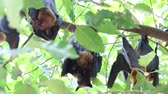 flying fox : The bat is in the mammal. There is a small body with wings fly. Bats are the second largest mammal. Stock Footage