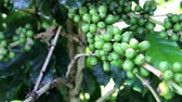 coffee tree : Coffee is a drink made from the seeds of the coffee plant, which is commonly called coffee beans roasted coffee trees are grown in more than 70 countries worldwide.