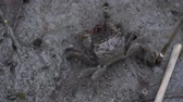 plazit se : crab crawls on the grey colour mud in salt marsh near estuary. Dostupné videozáznamy