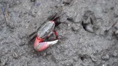 plazit se : Black crab with one big red claw is eating planktons in the grey colour mud in salt marsh near estuary.
