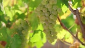 cachos : A bunch of grapes, white grapes on a vine.Ripe Grapes On The Vine For Making White Wine
