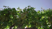 vinho : The vineyard, the vine, the bunches of white grapes, the glare of the sun make its way through the vineyard foliage, the field of grapes Vídeos