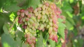 hrozný : A bunch of grapes, white grapes on a vine.Ripe Grapes On The Vine For Making White Wine