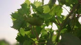 Green grapes, unripe. Grape leaves. sun flare
