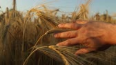 Field of ripe wheat and male hand  Tracking shot