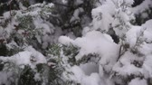 Thuja in the snow