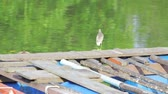 A little gray heron is fishing from a river on a pier.