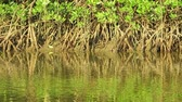 Ripples on the green surface of the water and the roots of mangroves