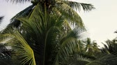 Coconut palm trees foliage closeup. Aerial flight 4k  video. Vidéos Libres De Droits