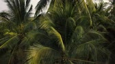 Coconut palm trees foliage closeup. Aerial flight 4k  video. Vídeos