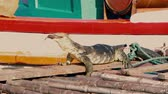 etobur hayvan : A huge аsian water monitor, Voranus Salvator, Dragon water, lizard eating fresh fish on the pier near the boat.
