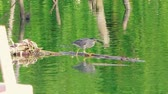 garça : Little gray heron is fishing on a river and is sitting on a branch. Vídeos