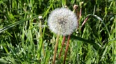 A lone dandelion sways in the wind,on the shore of the pond ,on the background of green grass