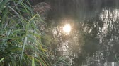Bathing the sun in the pond, Reflection of the sun on the watery surface in the reeds. Stok Video