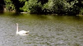 A swan swims on a pond Stok Video