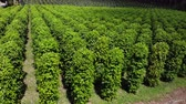 biber tanesi : Thailand,Chanthaburi The garden is famous pepper. Pepper plantations of different varieties are found in many places of the Thailand. Black pepper is exported to many countries of the World.