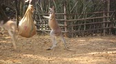 kanguru : Boxing kangaroos with sack
