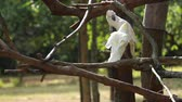temas animais : Sulphur-crested Cockatoo, Cacatua galerita,with crest up in front of white background