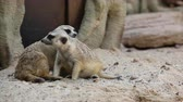 focinho : Meerkats sit on sand and looking camera