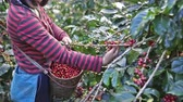 coffee growing : farmer hand picking arabica coffee berries in red and green on its branch tree at plantation