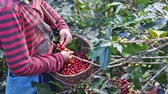 green coffee beans : farmer hand picking arabica coffee berries in red and green on its branch tree at plantation