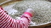 coffee growing : worker select coffee berries seed broken by hand after dry processing. Stock Footage