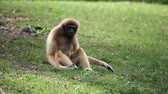 gorila : White Cheeked Gibbon o Lar Gibbon en Tailandia, Archivo de Video