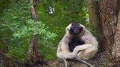 macaco : Pileated Gibbon on tree.