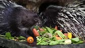 chew : Porcupine eating vegetable.