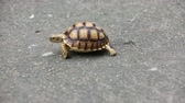 tartaruga : Group of Centrochelys sulcata turtle walking on the concrete floor. Stock Footage