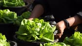 farming equipment : Pick up the nature lettuce from eco garden.