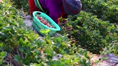 morango : CHIANG MAI, THAILAND - Feb 27: Women on the top of hill from Thailand picking fresh red strawberry plantation on February 27, 2018 on a strawberry plantation at Doi Ang Khang , Chiang Mai, Thailand.