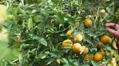 factory farming : Farmer harvesting oranges in the garden for export business.