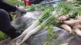 turp : Farmer harvest and cleaning Japanese radish daikon by water in the farmland for export to market.