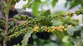 fruit : Worker Harvest arabica coffee berries on its branch,Agriculture economy industry business, health food and lifestyle, at the north of Thailand.
