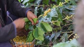 coffee growing : Worker Harvest arabica coffee berries on its branch,Agriculture economy industry business, health food and lifestyle, at the north of Thailand.