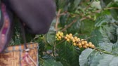 green coffee beans : Worker Harvest arabica coffee berries on its branch,Agriculture economy industry business, health food and lifestyle, at the north of Thailand.