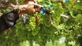 vinařství : Close up hand of worker picking grapes during wine harvest in vineyard. Select cutting Non-standard grapes from branch by Scissors.