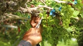 Close up hand of worker picking grapes during wine harvest in vineyard. Select cutting Non-standard grapes from branch by Scissors.