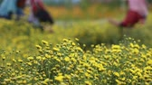 krizantem : Farmer pick yellow flower Chrysanthemum or Dendranthema indicum L. in the farmland at Chiang Mai Thailand.