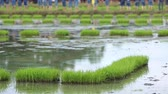 friendship,young farmer planting on the Rice Berry organic paddy rice farmland, Together concept.