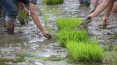 friendship, young farmer planting on the Rice Berry organic paddy rice farmland, Together concept.