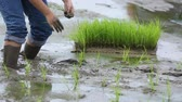 friendship,young farmer planting on the Rice Berry organic paddy rice farmland,Together concept. Vídeos