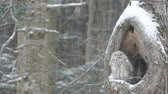t��o : OWL of wind and snow.  10  November 15, 2014 in Japan of the shooting in HokkaidoHow a couple of owl has endured to get along wind and snow in the sinus. Harsh winter in this land visited.