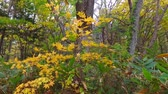еще : Landscape of autumn leaves of primeval forest that was captured by the camera stabilizer  8  October 18, 2015 to the shooting in JapanAutumn scenery of the park of primeval forest of undeveloped.